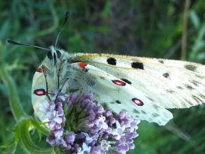 モンゴルの蝶
